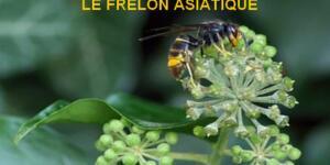 Campagne d'information sur le frelon asiatique