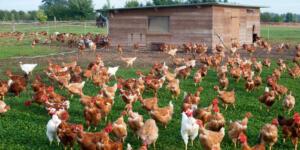 Évolution européenne de l'Influenza aviaire hautement pathogène